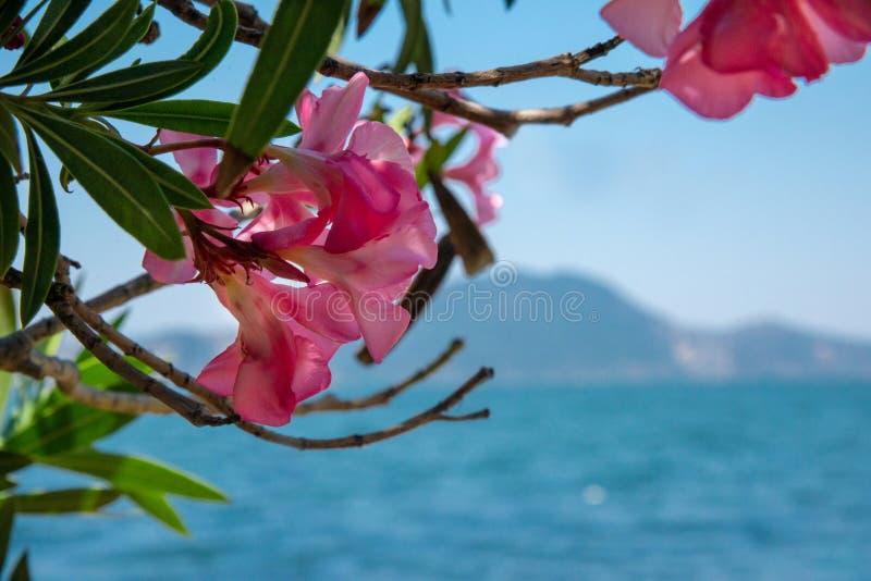 Los adelfas rosados están al lado de la orilla cerca del mar El concepto de turismo y de reconstrucci?n Fondo foto de archivo