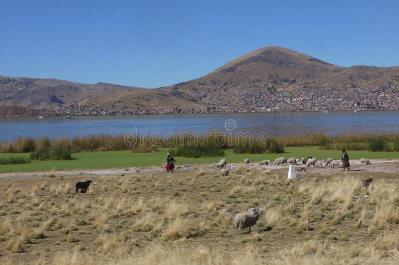 Los agricultores locales tienden una multitud de ovejas al lado del lago Titicaca fotos de archivo