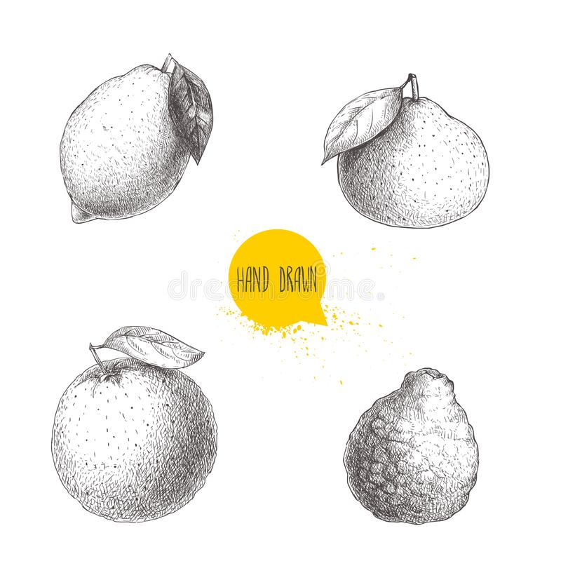 Los agrios dibujados mano del estilo del bosquejo fijaron aislado en el fondo blanco Limón, cal, mandarina, mandarín, naranja y b ilustración del vector