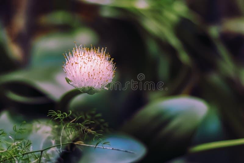 Los albiflos del Haemanthus son especies de planta de florecimiento en el Amaryllidaceae de la familia imágenes de archivo libres de regalías