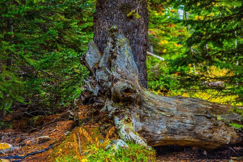 Los alerces del otoño de Chester Lake imagen de archivo libre de regalías
