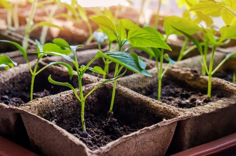 Los almácigos de la pimienta dulce para el jardín de la ciudad crecen en potes de la turba en una ventana en la tierra en un día  fotos de archivo libres de regalías