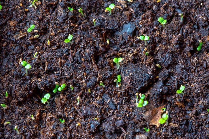 Los almácigos de la planta de la primavera aparecen de suelo fértil húmedo foto de archivo libre de regalías