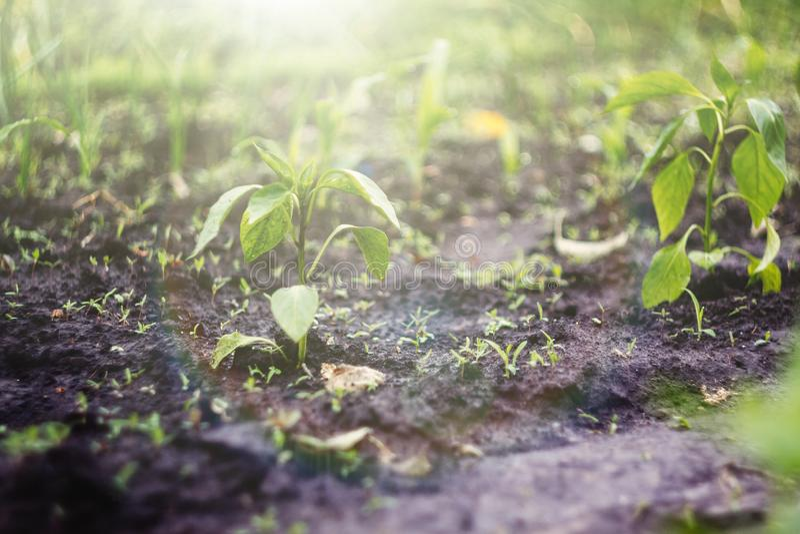 Los almácigos jovenes se plantan en el jardín en incluso filas en la luz del sol imagen de archivo libre de regalías