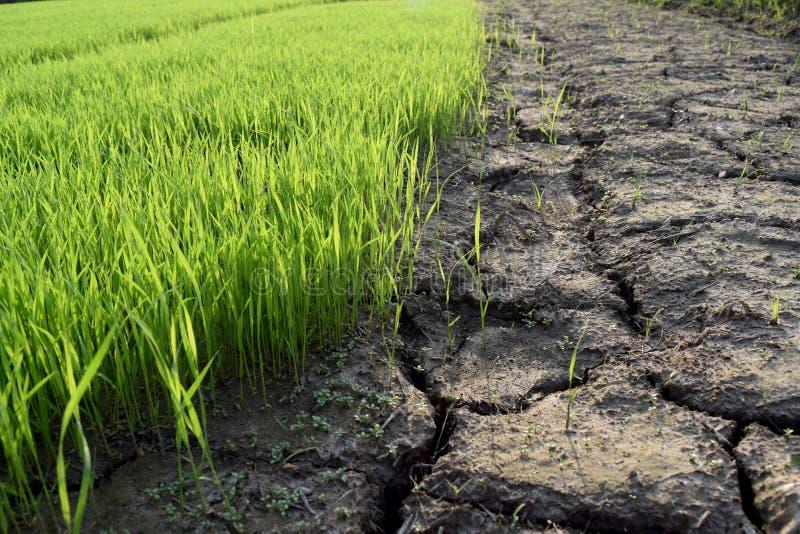 Los almácigos verdes del arroz y el suelo seco es grieta fotos de archivo