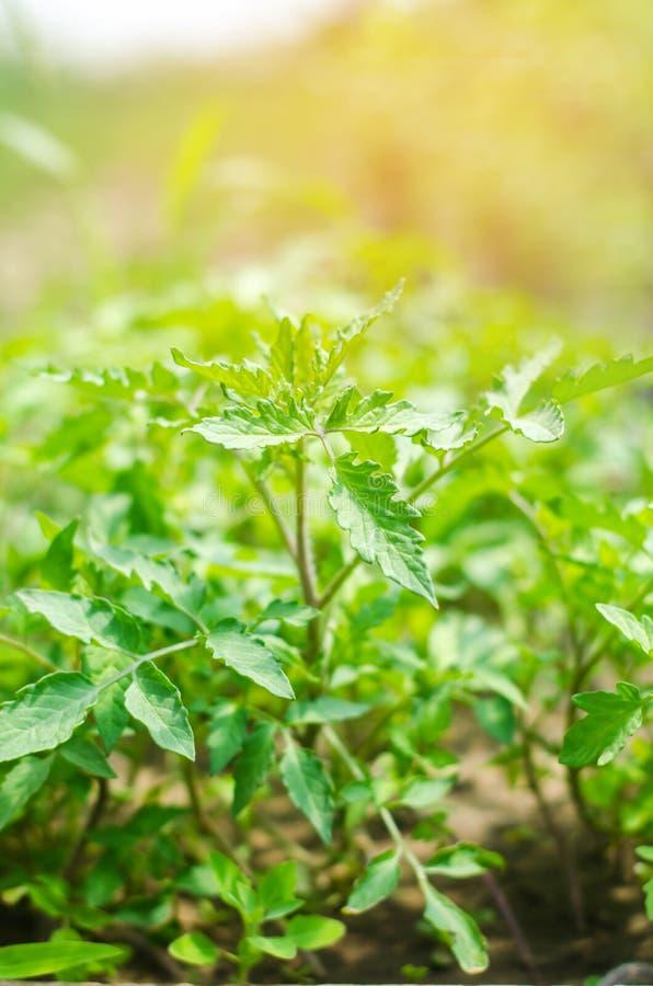 Los almácigos verdes jovenes de tomates, alistan para el trasplante en el campo, cultivando, agricultura, verduras, agrícola resp imagen de archivo