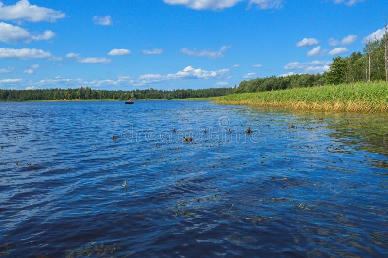 Los altos arbustos hermosos naturales verdes acuáticos de las plantas se chiban las cañas contra el contexto de la orilla del río fotos de archivo