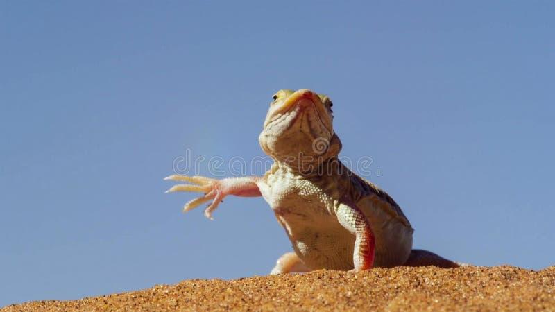 Los anchietae metidos el hocico pala de Meroles del lagarto que suben sus pies de la tierra a su vez permiten a cada uno refresca foto de archivo libre de regalías