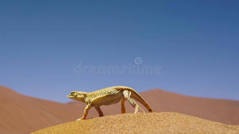Los anchietae metidos el hocico pala de Meroles del lagarto que suben sus pies de la tierra a su vez permiten a cada uno refresca imagen de archivo