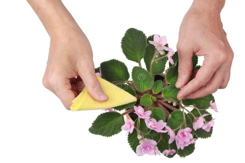 Los ancianos sirven cuidados cuidadosamente para un arbusto floreciente apacible de adentro imagen de archivo
