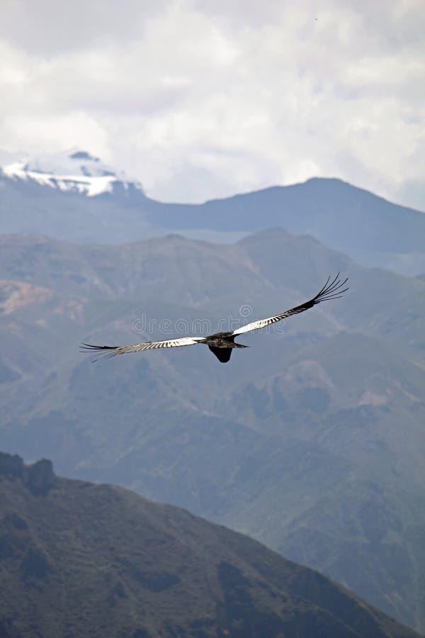 Los Andes, cóndor fotografía de archivo libre de regalías