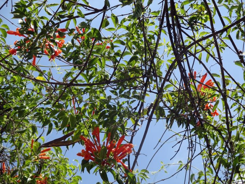 Los Angeles Liana De Fuego, spektakularny arywista Pyrostegia venusta obraz stock