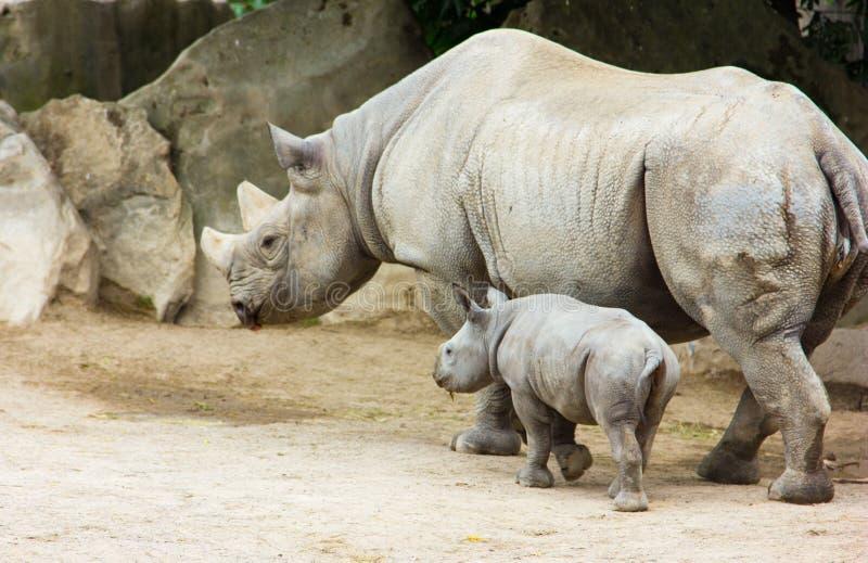 Los animales animales del parque zoológico del bebé del rinoceronte del rinoceronte toman el cuidado de bebés imagen de archivo
