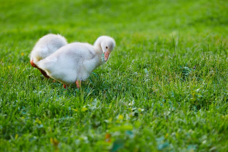 Los ansarones que picotean en la hierba en la granja imágenes de archivo libres de regalías