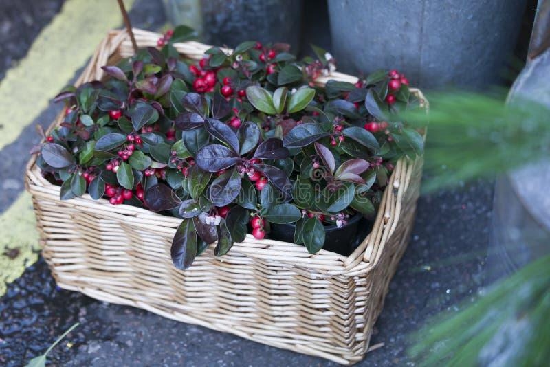 Los arándanos plantan como decoración de la Navidad en cesta de mimbre imágenes de archivo libres de regalías