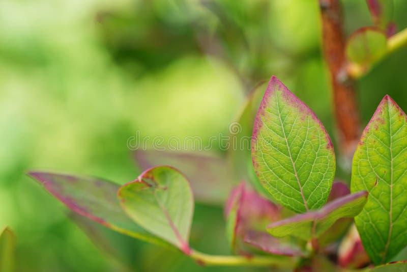 Los arándanos se van en una rama en el jardín, fruta sana del verano imágenes de archivo libres de regalías