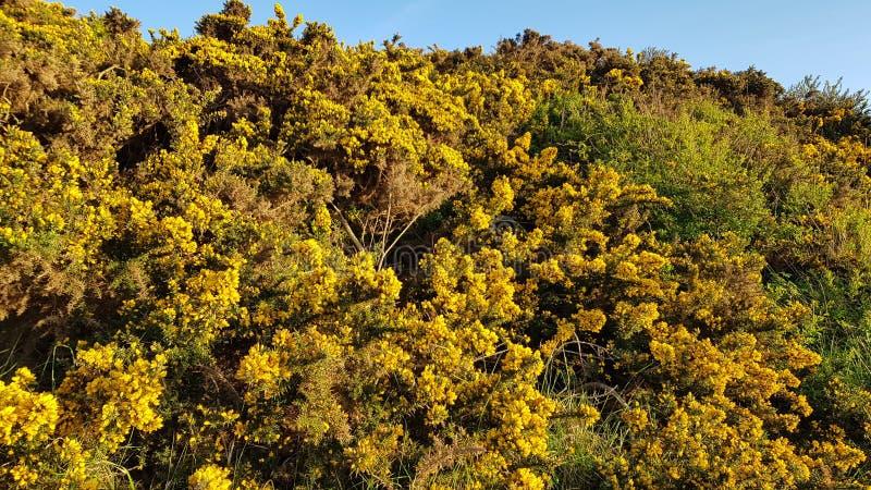Los arbustos amarillos adentro desprecian el punto Reino Unido fotografía de archivo libre de regalías