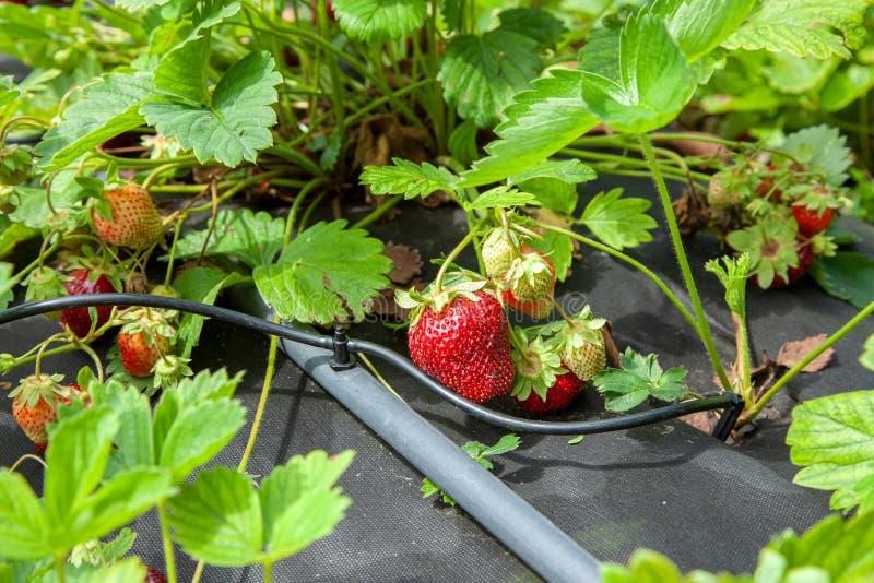 Los arbustos de fresa se humedecen con la irrigación por goteo fotos de archivo libres de regalías