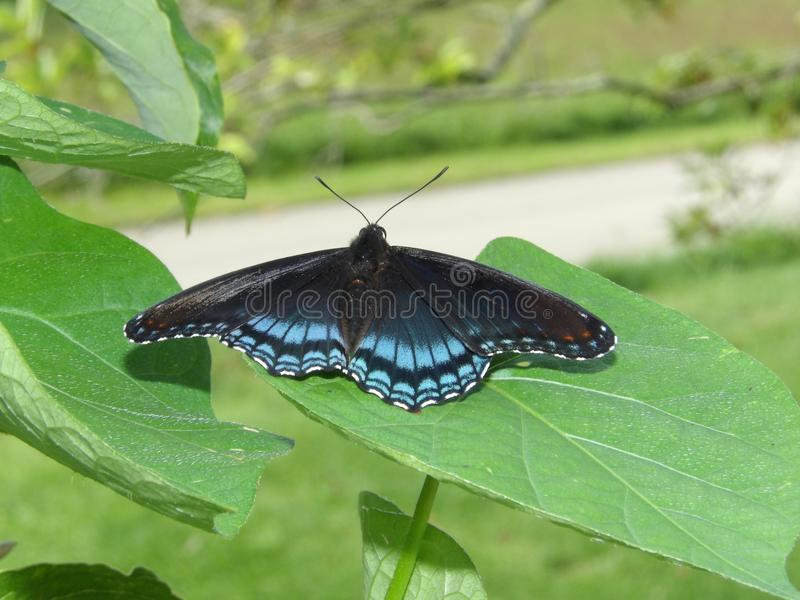 Los arthemis negros y azules del Limenitis de la mariposa en un árbol de cornejo hojean fotos de archivo