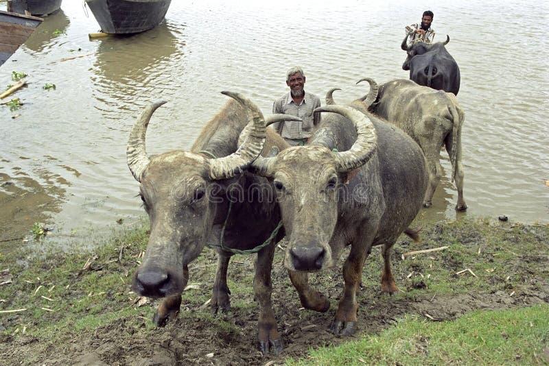Los búfalos de agua son lavados por los granjeros en el río imágenes de archivo libres de regalías