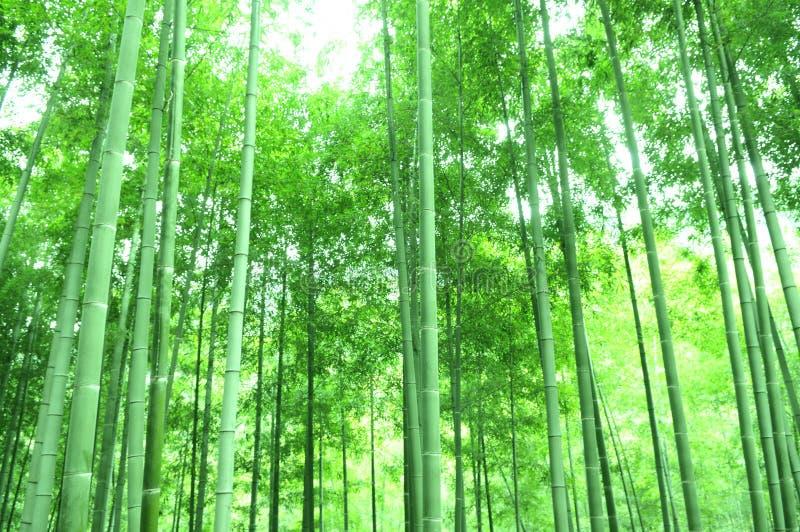 Los bambúes verdes fotos de archivo libres de regalías