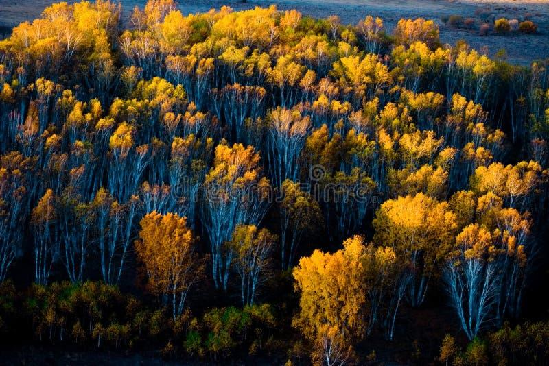 Los bosques del abedul blanco durante la salida del sol imagen de archivo imagen de temprano - Abedul blanco ...