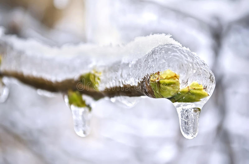 Los brotes del árbol congelado en hielo fotos de archivo libres de regalías