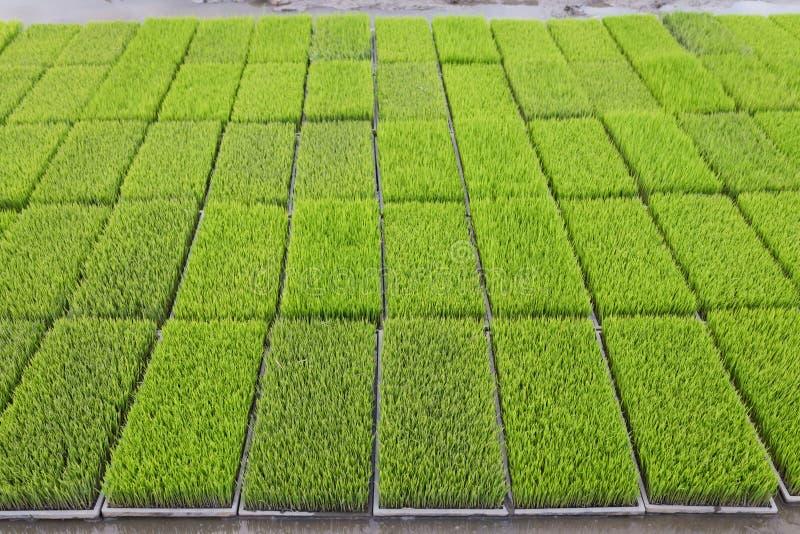 Los brotes jovenes del arroz se preparan para plantar en un campo de arroz en Tailandia imagen de archivo libre de regalías