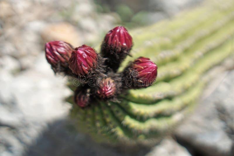 Los brotes rojos alistan a la floración de un cactus imagen de archivo libre de regalías
