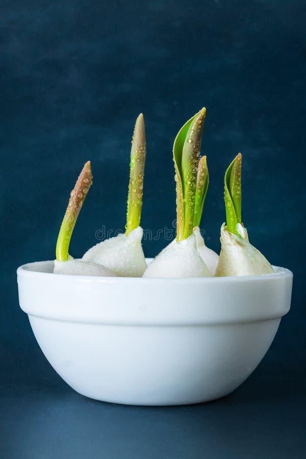 Los bulbos de tulipanes en un cuenco blanco lanzaron hacia fuera lanzamientos verdes jovenes a popa foto de archivo libre de regalías