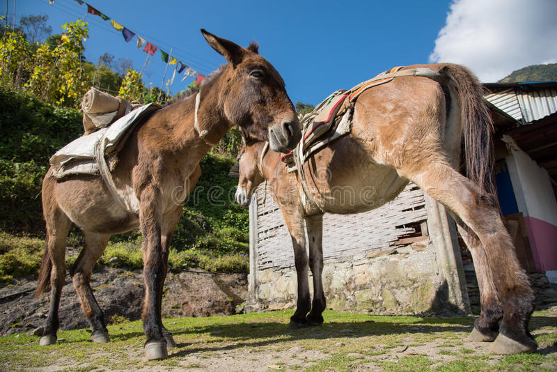 Los burros de Brown se relajan después del pueblo trabajado duro de Chomrong, Nepal imagen de archivo