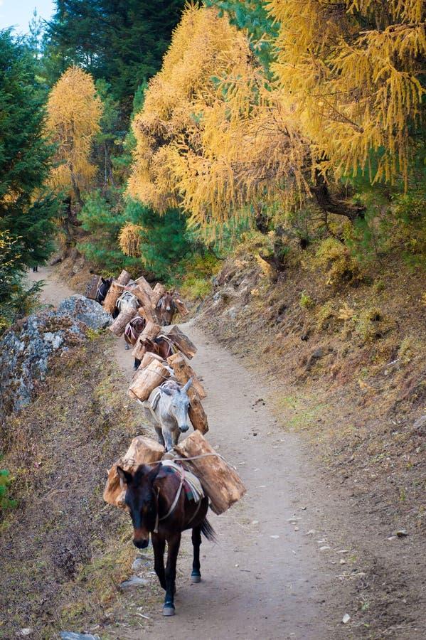 Los burros que llevan la madera abren una sesión la manera al campo bajo de Annapurna Caravana del burro en Nepal Burros Himalaya fotografía de archivo libre de regalías