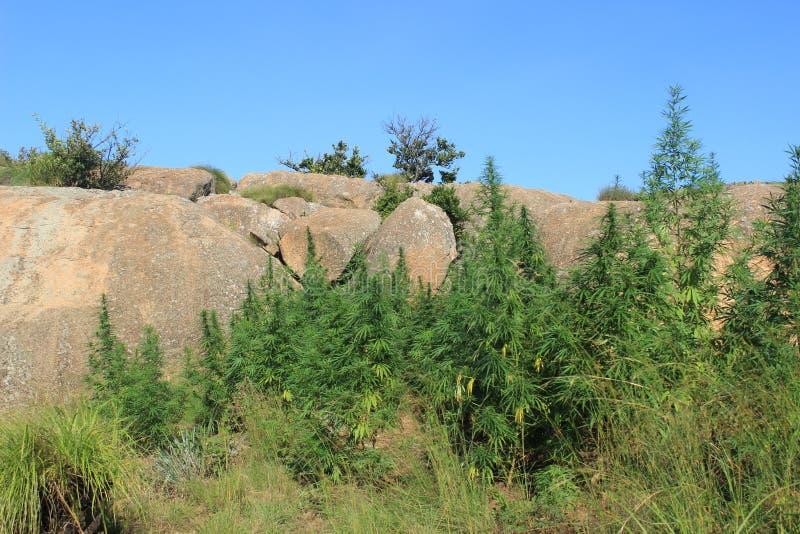 Los cáñamos al aire libre crecientes salvajes escardan el narcótico de las drogas en Swazilandia, África foto de archivo