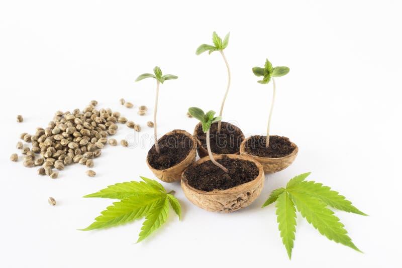 los cáñamos crecientes del cañamón de la planta de la marijuana ponen verde la hoja imágenes de archivo libres de regalías