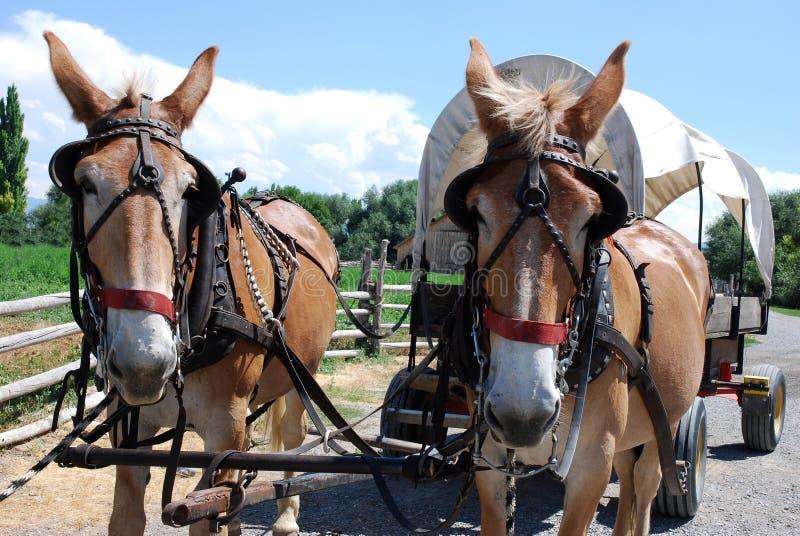 Los caballos aprovechados tiran de un carro cubierto imágenes de archivo libres de regalías