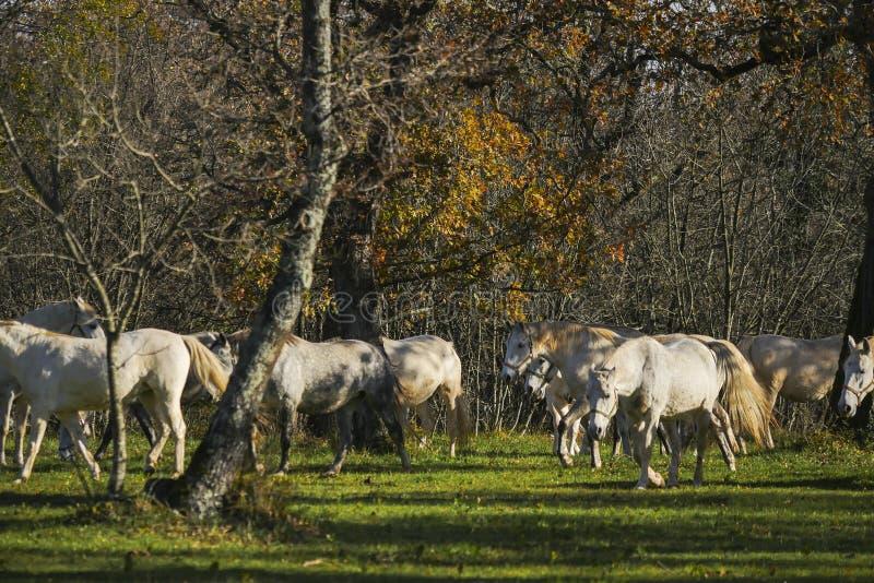 Los caballos blancos reducen la estación del otoño del paseo imágenes de archivo libres de regalías