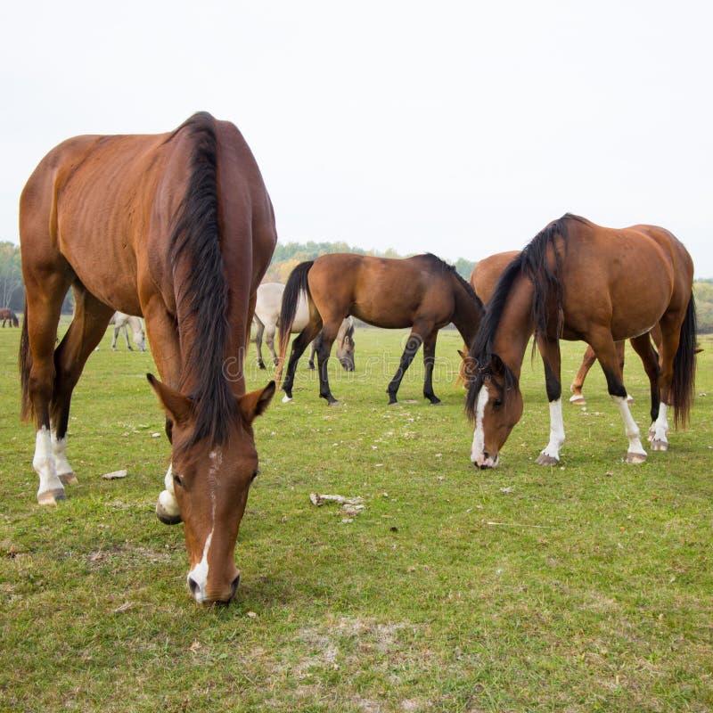 Los caballos comen la hierba en el pasto imágenes de archivo libres de regalías