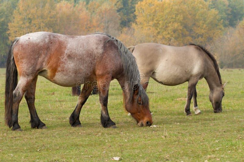 Los caballos comen la hierba en el pasto fotografía de archivo libre de regalías