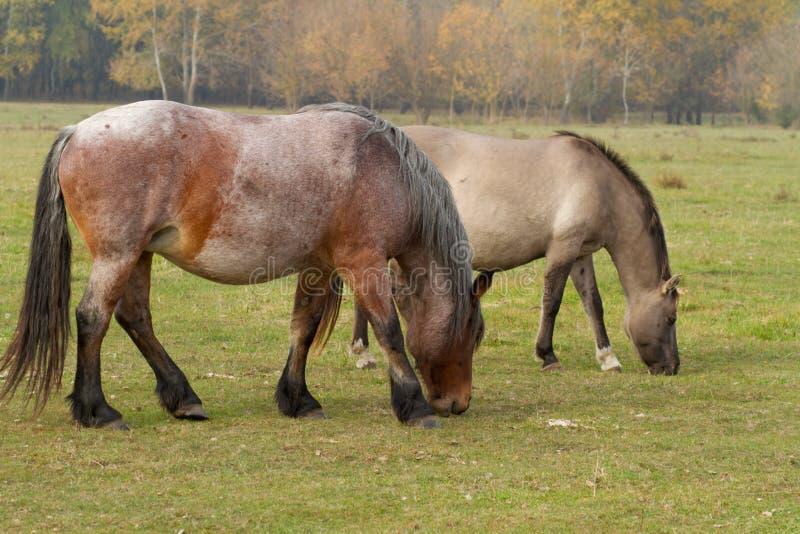 Los caballos comen la hierba en el pasto foto de archivo libre de regalías