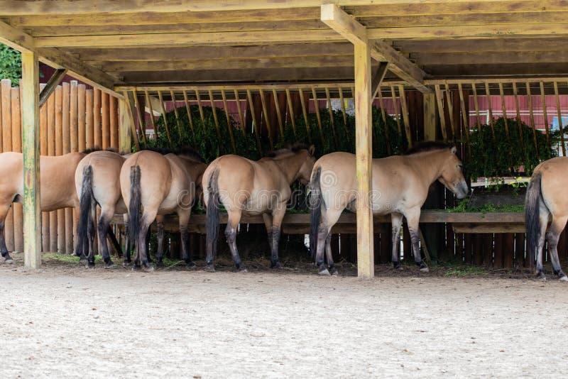 Los caballos de Przewalski alimentan desde canales de alimentación en un parque zoológico fotografía de archivo