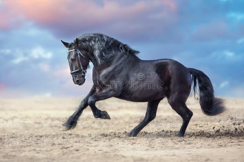 Los caballos del Frisian corren imagen de archivo