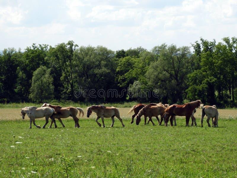 Los caballos del trabajo de Amish se relajan en el campo imagenes de archivo
