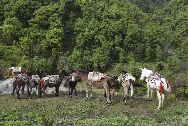 Los caballos están comiendo la hierba en un campo en Poonhill, Nepal fotos de archivo libres de regalías