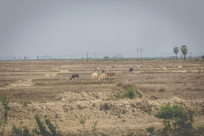 Los caballos están en prados secos imagen de archivo libre de regalías