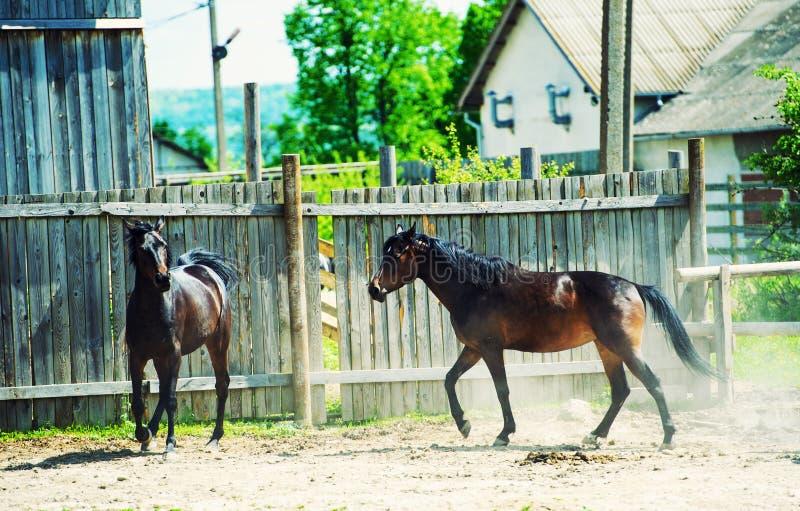 Los caballos funcionan con galope en prado imagen de archivo