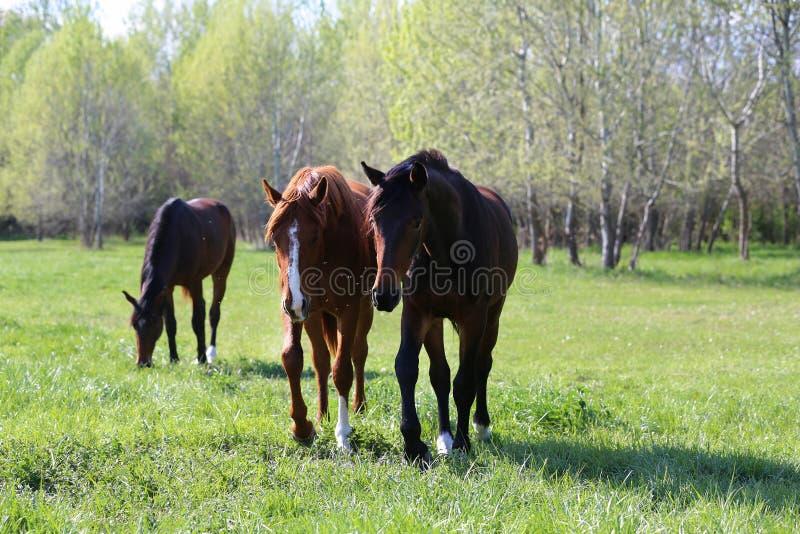 Los caballos jovenes criados en l?nea pura del deporte pastan en el pasto Caballos del prado que viven en rancho rural imagenes de archivo