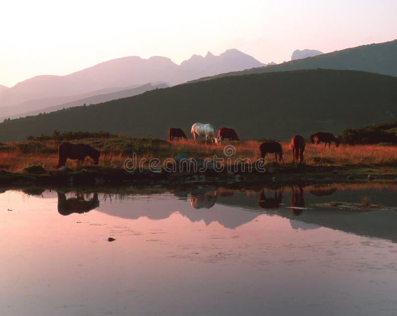 Los caballos pastan cerca del lago temprano foto de archivo
