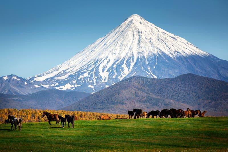 Los caballos pastan debajo del volcán, Kamchatka foto de archivo libre de regalías