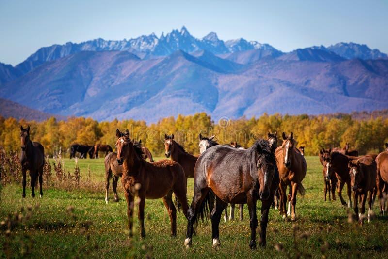 Los caballos pastan en el campo foto de archivo libre de regalías