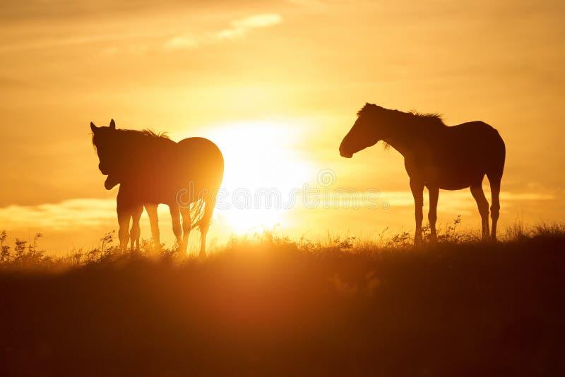 Los caballos pastan en pasto en la puesta del sol imagen de archivo